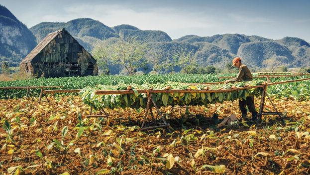 Las hojas de tabaco Virginia secadas por este proceso se enviarán a una fábrica de cigarrillos que se construye en la Zona Especial de Desarrollo del Mariel. (amnh.org)