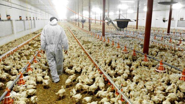 La técnica en cuestión consiste en sumergir las aves en una solución antimicrobiana de agua con cloro para matar bacterias y patógenos que pueden afectar a la salud humana.