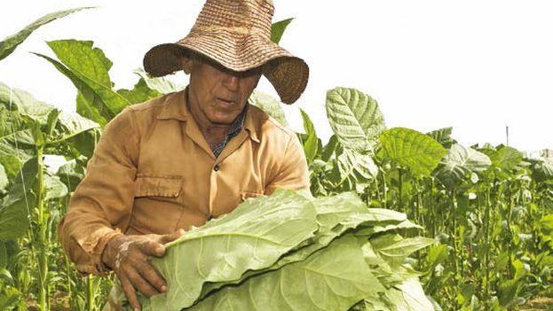 Campesino con hojas de tabaco. (14ymedio)