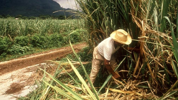 Cutting Down Sugarcane In Cuba Conexion Cubana