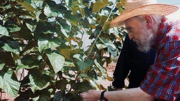 Fidel Castro junto a un arbusto de moringa