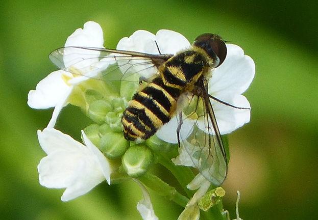 La sequía primero y el huracán Irma después afectaron significativamente la población de abejas en Cuba. (Gailhampshire)