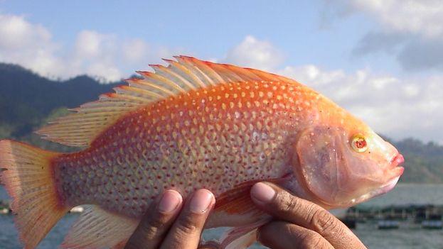 El alto rendimiento comercial de este pez ha llevado a las autoridades cubanas a impulsar su cría. (cultivodetilapia.blogspot.com)