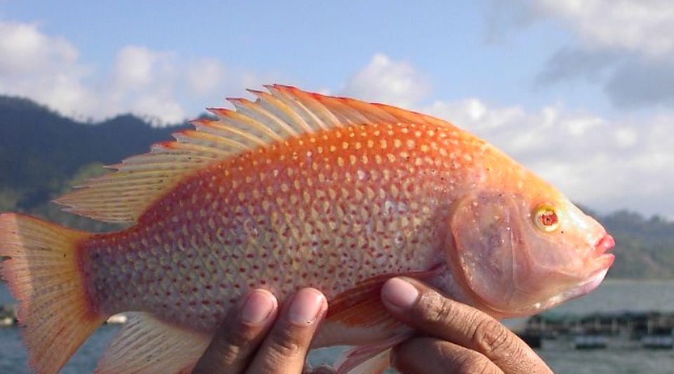 Cuba impulsa la cr a en el mar de tilapia roja un pescado for Cria de tilapia en estanques plasticos