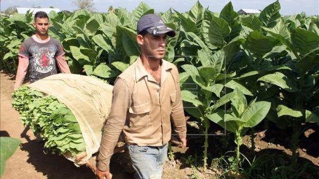 Las principales zonas de cultivo de tabaco se ubican en Vueltabajo, en la occidental provincia de Pinar del Río (Foto EFE)