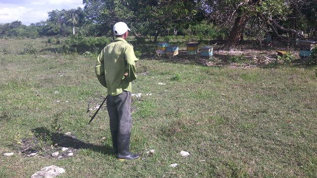 Un apicultor observa sus colmenas en el municipio Vertientes de Camagüey. (14ymedio)