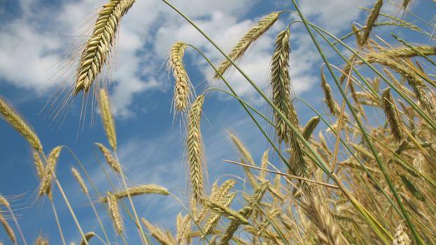 Un campo de trigo. (CC)