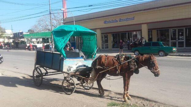 Una carretón tirado por un caballo reparte el pan del racionamiento en Camajuaní. (Librado Linares)