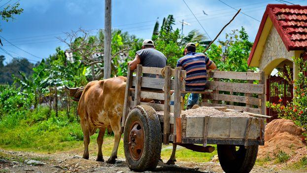 La crisis económica ha hecho que por décadas la mayor parte del trabajo en la tierra se haga con bueyes. (A. Bielosouv)