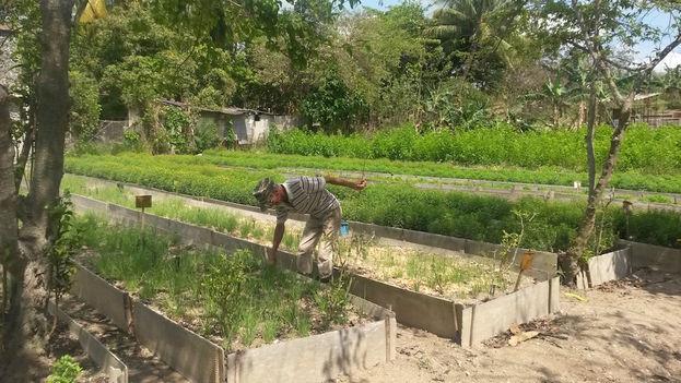 El huerto con hierbas destinadas a la producción de Industrias Purita. (14ymedio)