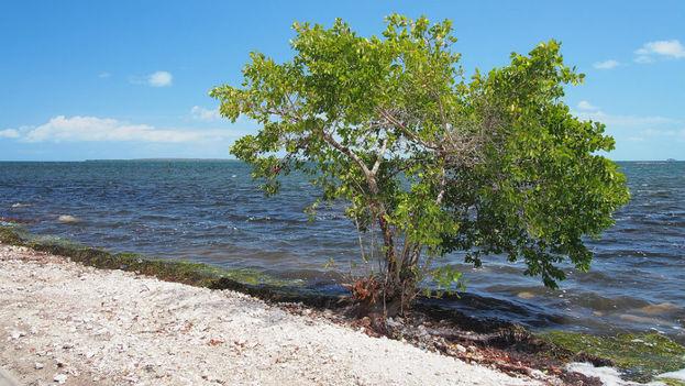 Los manglares figuran entre los elementos más golpeados por Irma en esta zona del país. (visitarcuba.org)