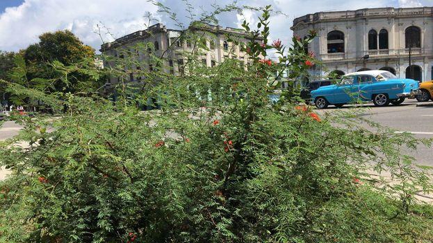 El marabú se extiende también por La Habana. (14ymedio)