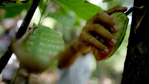 Los productores de Baracoa esperan alcanzar este año las 800 toneladas del fruto. (EFE)