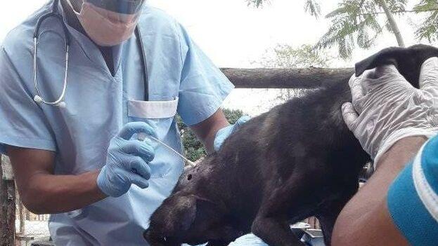 Los grupos de protectores de animales organizan esterilizaciones y curas de forma independiente. (Perritos callejeros en Cuba)