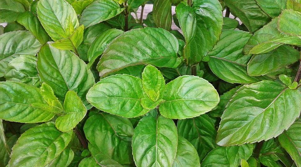 Albahaca limpieza o sabor for Planta decorativa con propiedades medicinales