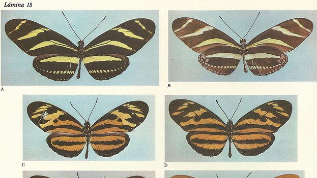 Imagen tomada del Atlas de mariposas diurnas de Cuba