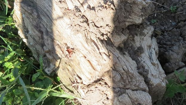 Tronco de árbol hecho piedra en la finca La Estrella, en Nasaja, Camagüey. (Inalkis/14ymedio)