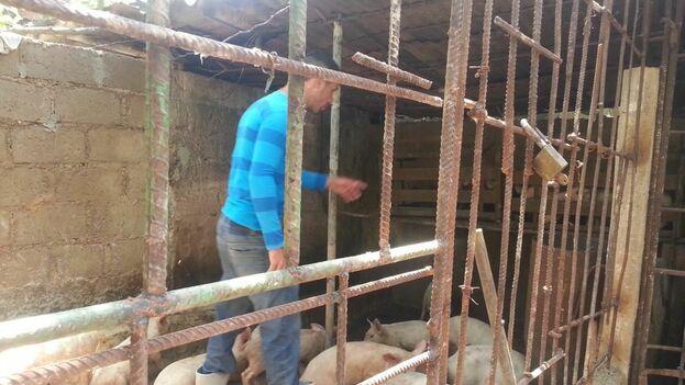 Corral de cerdos privado , sin convenio con el estado. (14ymedio)