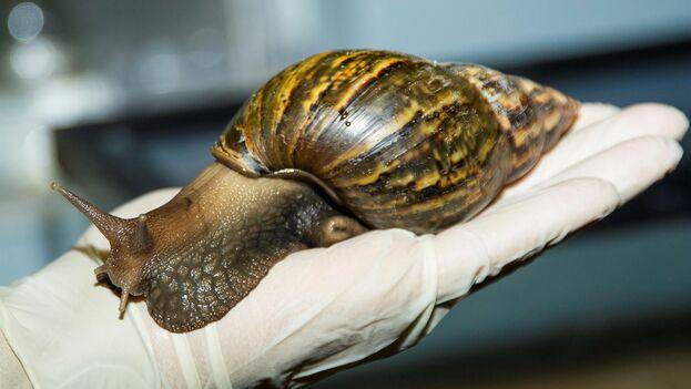 Fotografía de archivo de un caracol gigante africano cedida por el Servicio de Inspección Sanitaria de Animales y plantas del Departamento de Agricultura de EE UU. (EFE/USDA APHIS)