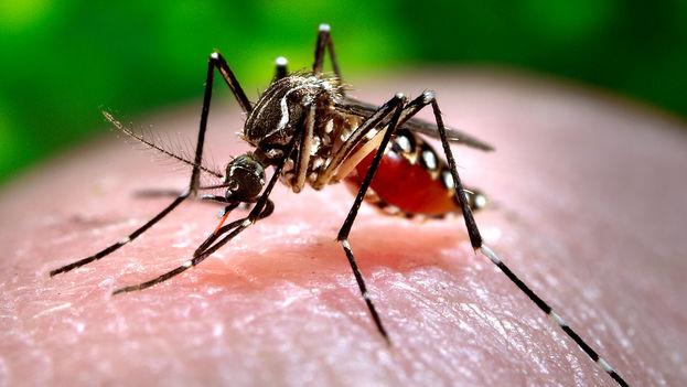 Mosquito 'Aedes aegypti', responsable de transmitir enfermedades como la malaria, la fiebre amarilla y el virus del zika. (Freestockphotos)