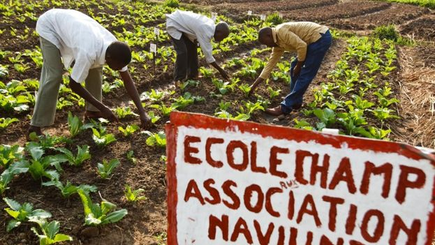 Las escuelas de campo para agricultores desarrollan la capacidad técnica de los agricultores y contribuyen a la igualdad de género y la inclusión social en las comunidades. (FAO/Olivier Asselin)