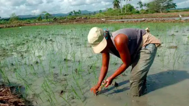 Una campesina cubana siembra arroz en Pinar del Río, a unos 120 kms al oeste de La Habana. (EFE/Archivo )
