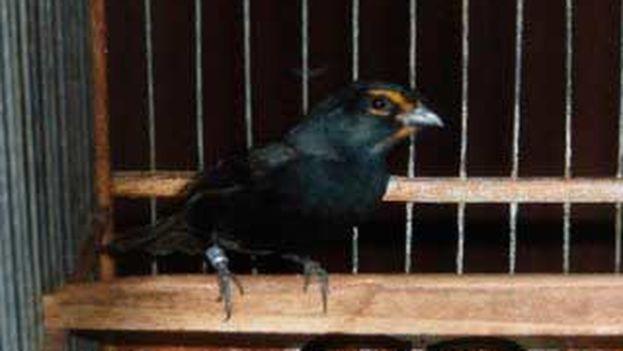 """El """"tomegrito"""" canta como sus padres, es igual al negrito en longitud y volumen, con pico intermedio, las cejas y la corbata naranja propias del tomeguín y el cuerpo de color negro. (Laura Fariña Naranjo)"""